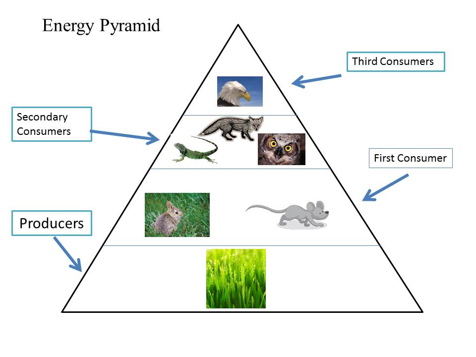 Energy Pyramid Percentages Energy Pyramid - Fores...